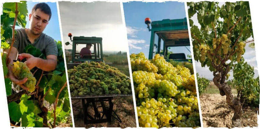 Grape harvest of Macabeu strain at Ca l'Escalló vineyard from Guardiola de Font-Rubí in Alt Penedès region
