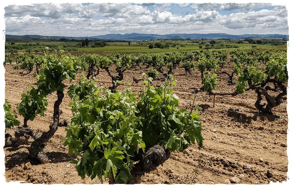 Viñedo Cal Escalló de Macabeo situado a la región del Penedés