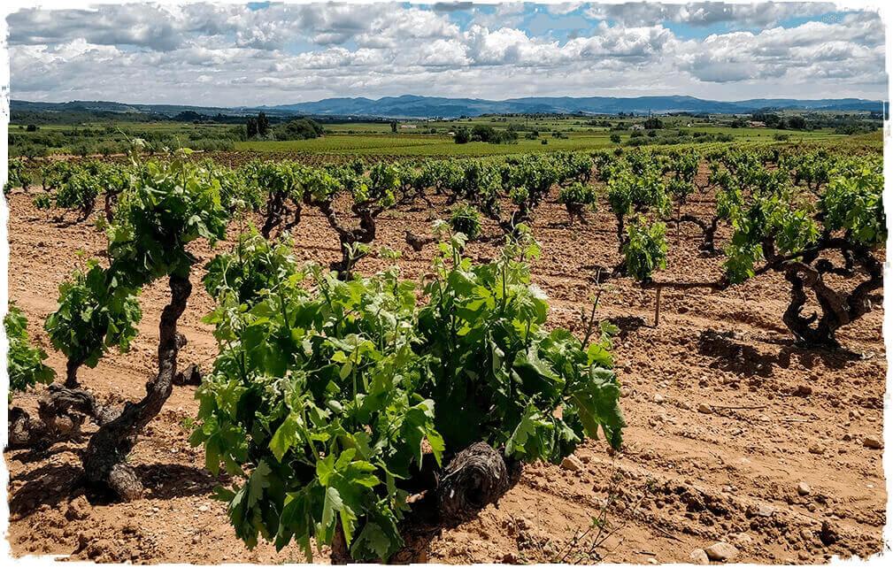 Vinya de Macabeu Ca l'Escalló a Guardiola de Font-rubí (Alt Penedès)